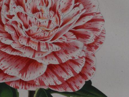 values antique camellia lithographs from centuries ago