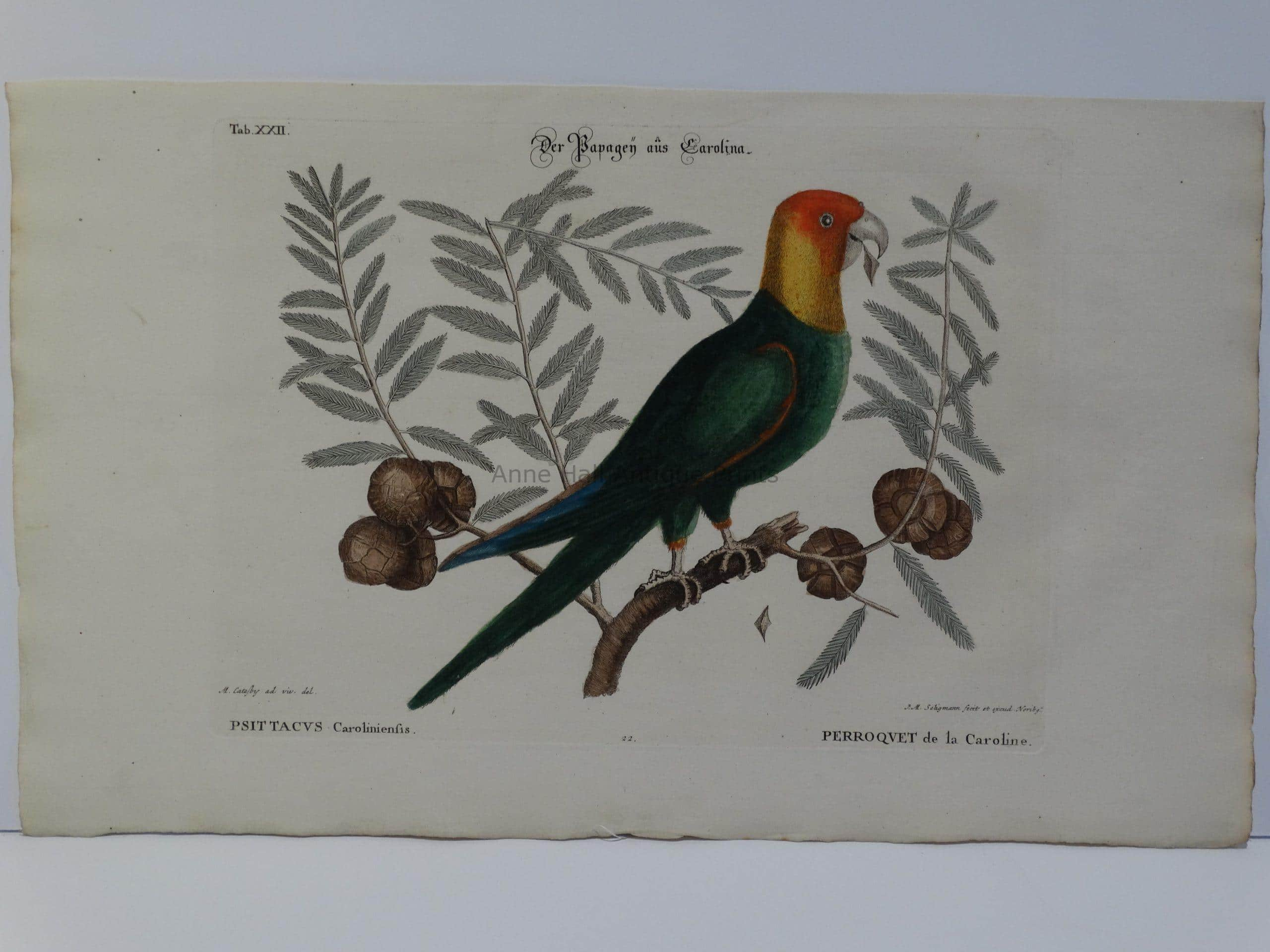 Rare hand-colored engraving for Mark Catesby's Carolina Parrot or Parakeet.