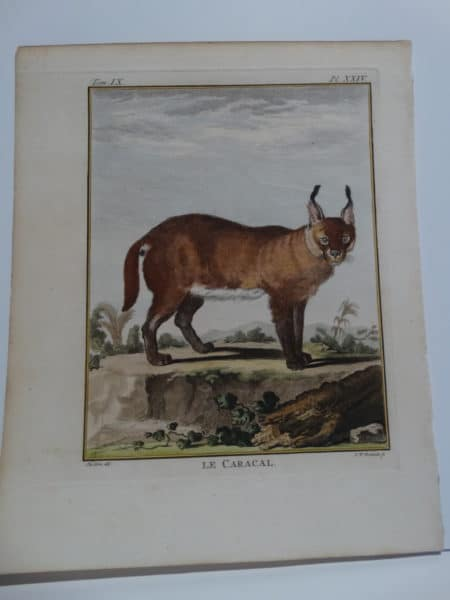 Exotic Species Buffon Caracal Cat XXIV, with tufted high ears.