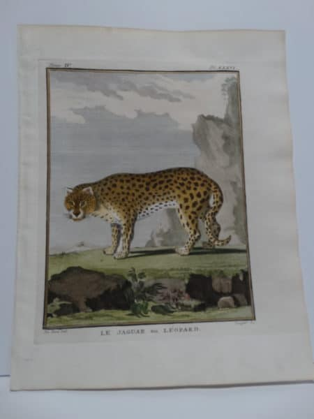 Very rare antique engraving of the fastest animal on Earth, the Jaquar.