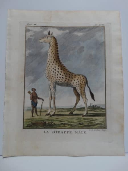 Rare 18th century engraving of African Giraffe, small spots.