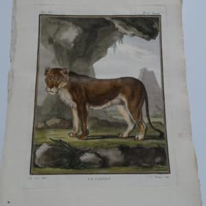 Rare French de-Seve engraving of female lion or lioness, from the mid 18th century.