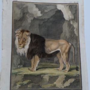 Wonderful DeSeve Compte de Buffon Lion engravings from the 1700's.