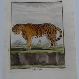 Excelption Tiger engraving from the 1700's. Compte de Buffon made sure the animal's expression was life-like and friendly looking, in nature.