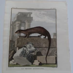 Mongoose engraving by Georle LeClerc Buffon.