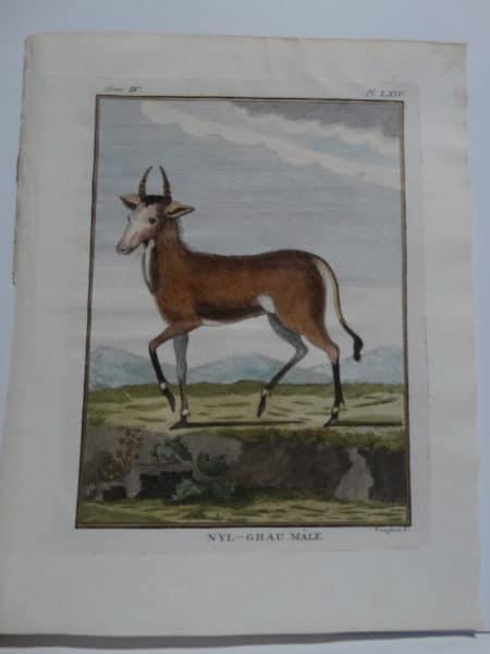 Exotic Species Buffon NylGhau