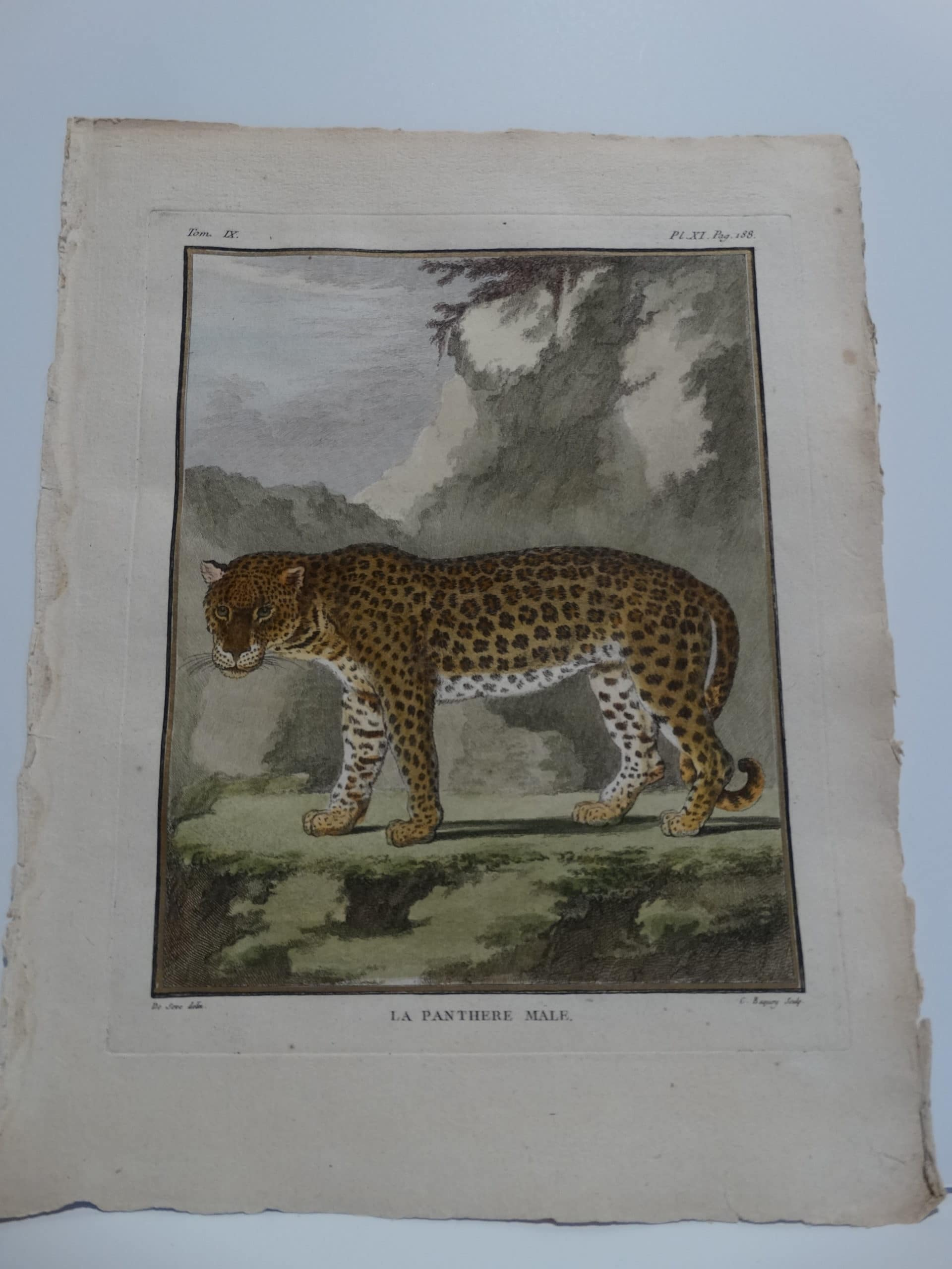 Highly detailed hand=-colored engraving of a panther.