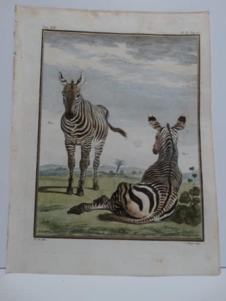 Exotic Species Buffon Zebras Engraving Sold