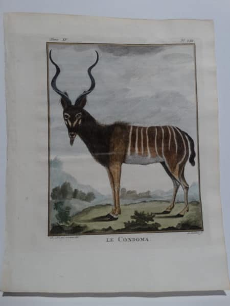 Beautiful African animal engraving, stunning face & curled horns, Condoma. Compte de Buffon Engraving.