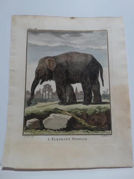 Exotic Species Elephant Femelle, Compte de Buffon.$300.