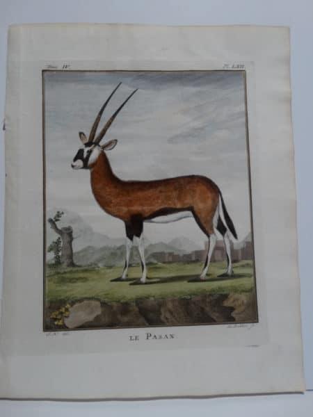 Beautiful 170 plus year old engraving of African gazelle, le Pasan.