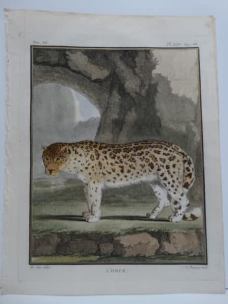 Exotic species of cat, the once has a spotted coat. An antique engraving with watercoloring.