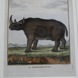 Close up of Rhinocerous engraving from the 1700's.
