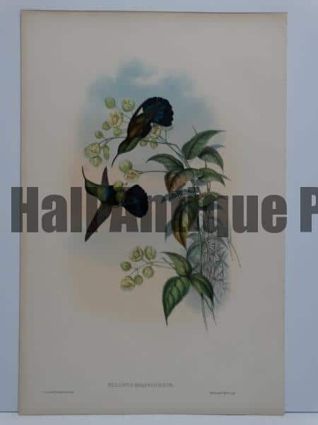 John Gould hummingbirds original antique lithographs sourced from A Monograph of the Trochilidae.