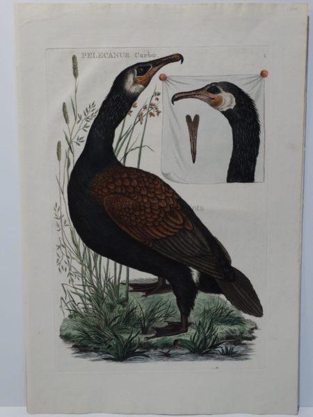 Antique Painting Cormorant