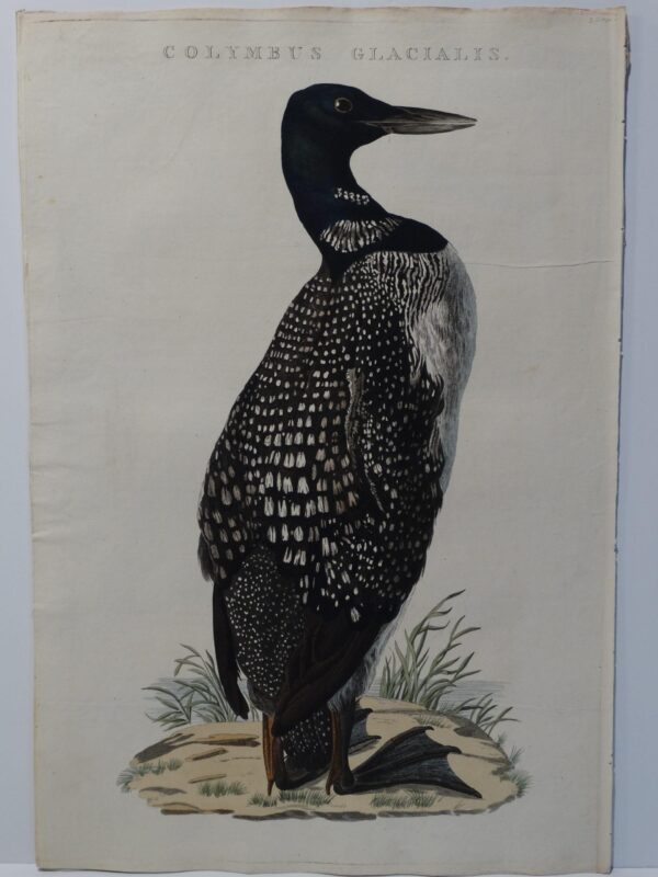 loon watercolor painting