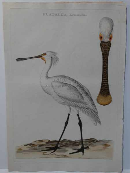 watercolor spoonbill painting