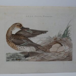 Teal Duck Antique Engraving