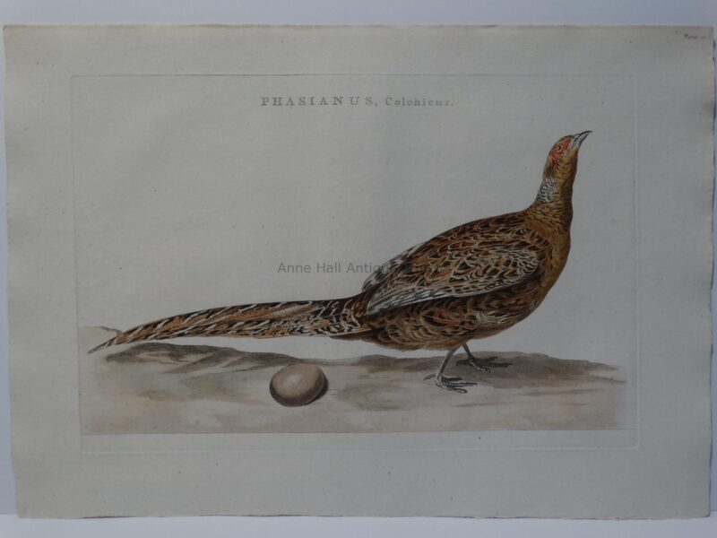 Rare Pheasant Engraving