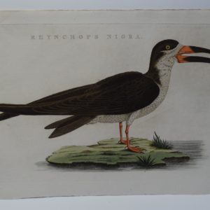 Skimmer Ocean Bird