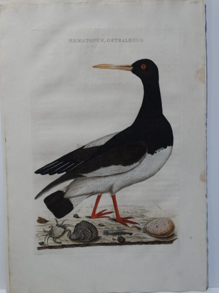 oystercatcher watercolor