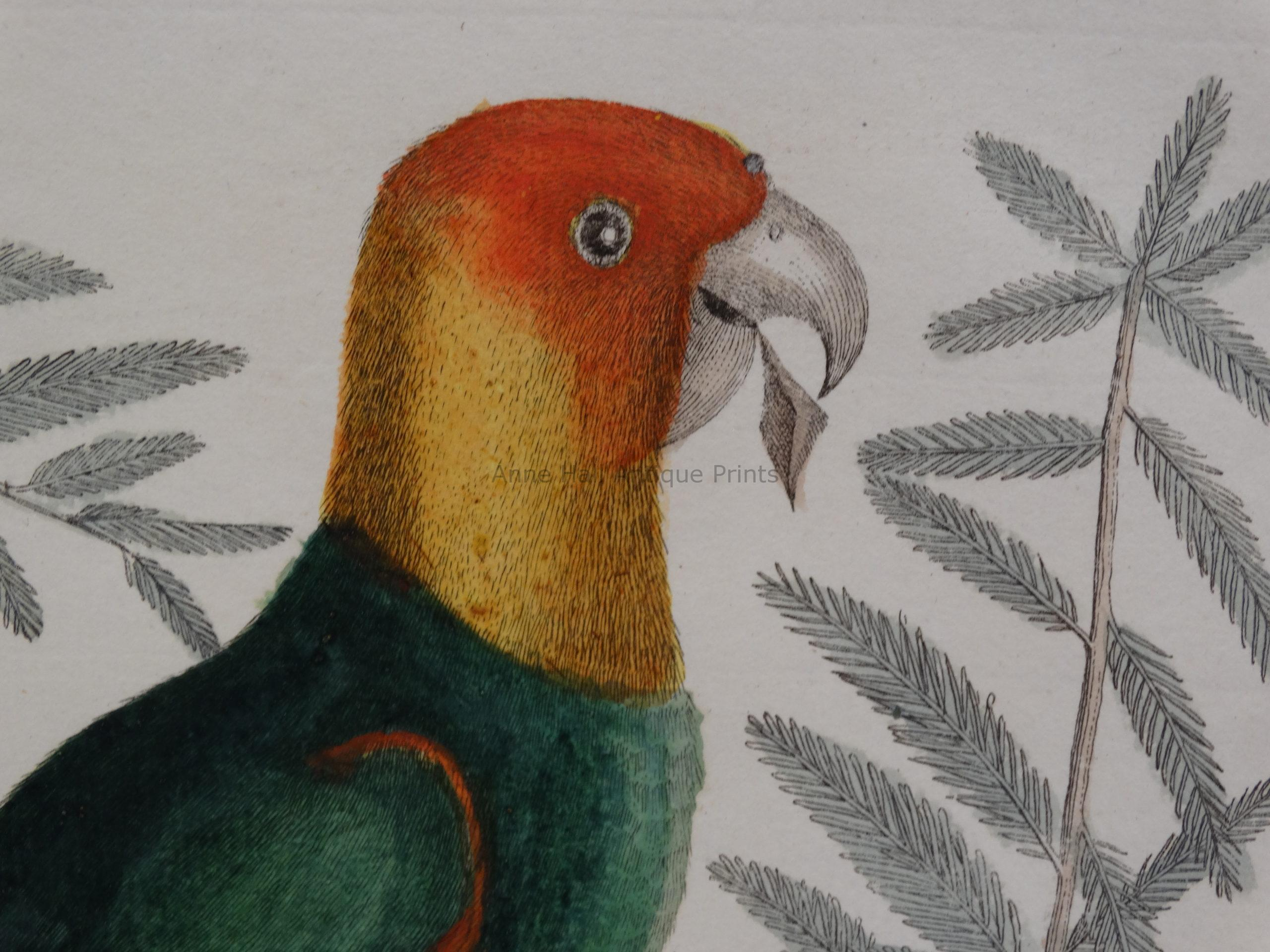 Close up of the detail in this 18th century engraving of the now extinct Carolina Parakeet Parrot. Yellow & orange head.