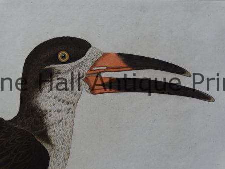 rare18th century birds