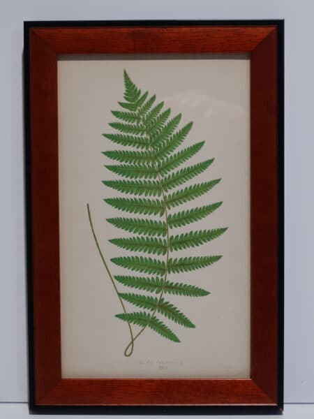 Framed Antique Fern Lithograph1