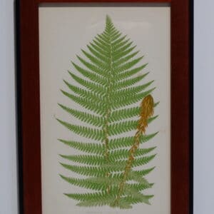 Framed Antique Fern Lithograph10