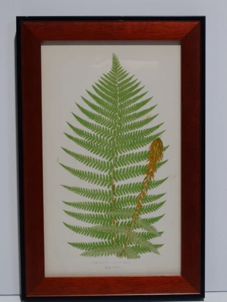 Framed Antique Fern Lithograph10
