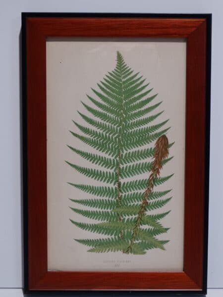 Framed Antique Fern Lithograph11