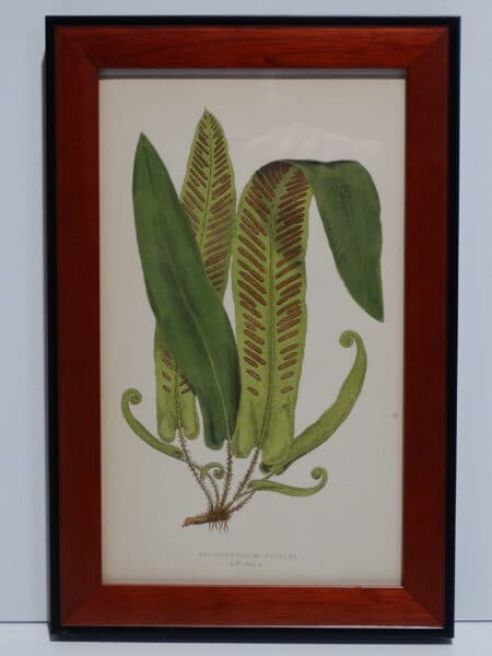 Framed Antique Fern Lithograph12