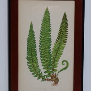 Framed Antique Fern Lithograph2