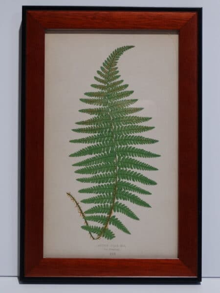 Framed Antique Fern Lithograph3