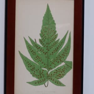 Framed Antique Fern Lithograph4