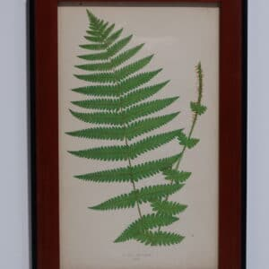 Framed Antique Fern Lithograph5