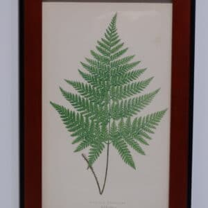 Framed Antique Fern Lithograph6