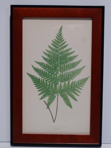 Framed Antique Fern Lithograph6