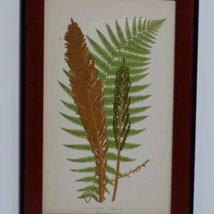 Framed Antique Fern Lithograph7