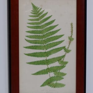 Framed Antique Fern Lithograph8
