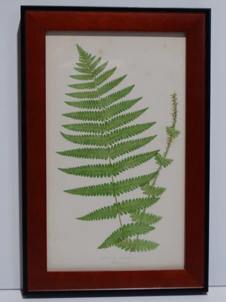 Framed Antique Fern Lithograph8