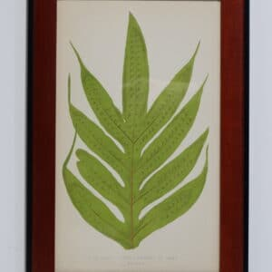 Framed Antique Fern Lithograph9