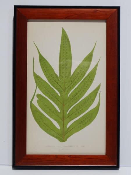 Framed Antique Fern Lithograph9