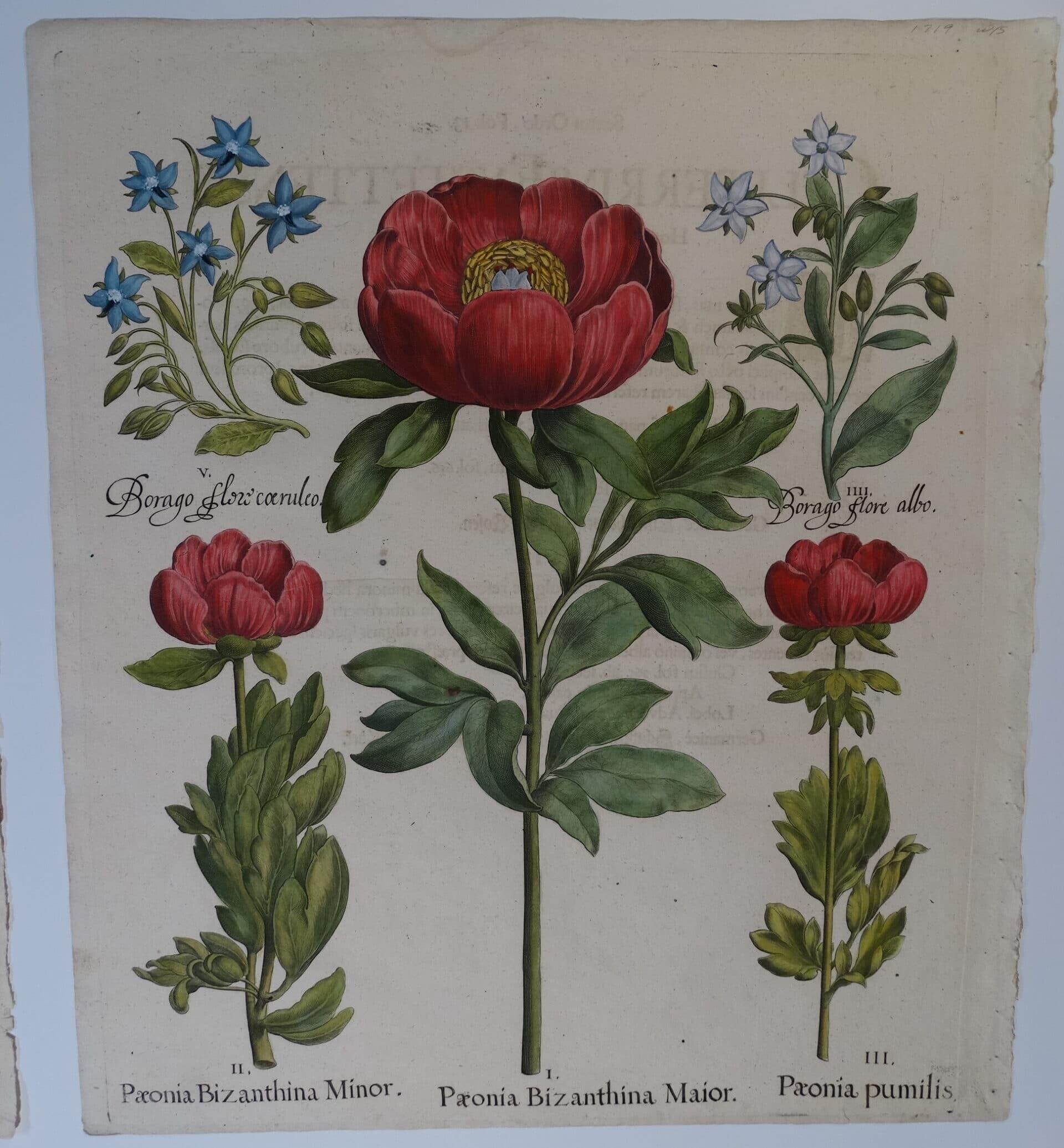 Basil Besler's Hortus Eystettensis Florilegium Paeonia Bizanthina Minor Major pumilis 1713 edition