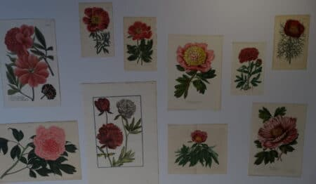 Find beautiful antique botanical engravings and lithographs that are over 100 years old.