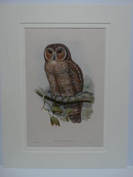 Speckled or mottled owl.