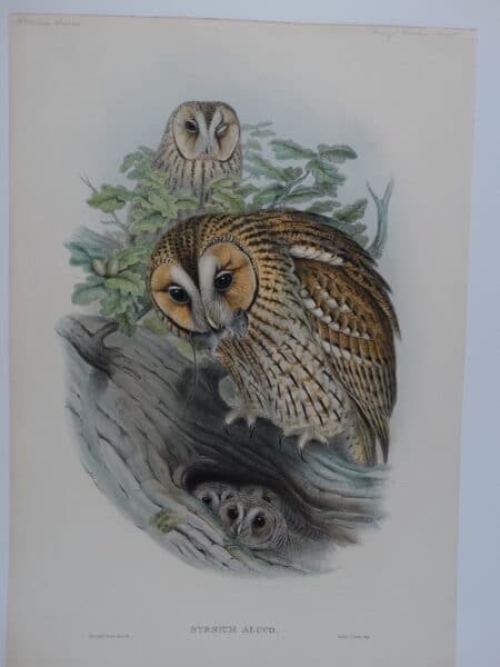 John Gould, Birds of Great Britain, hand-colored lithograph of Tawny or Brown owls and owlets.