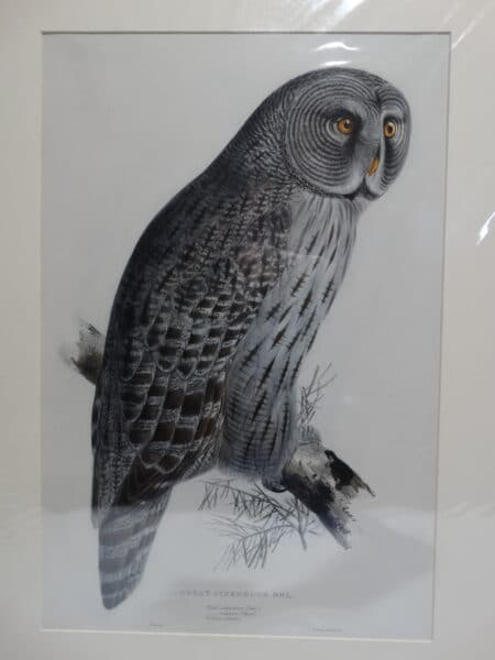 Great Cinereous Owl surced from John Gould Edward Lear's Birds of Europe 1832-1837.
