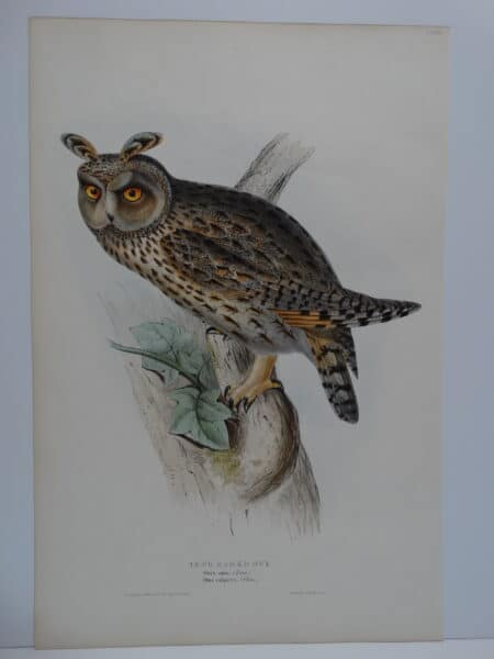 Striking original John Gould Long Ear Owl lithograph sourced from Birds of Great Britain c.1860.