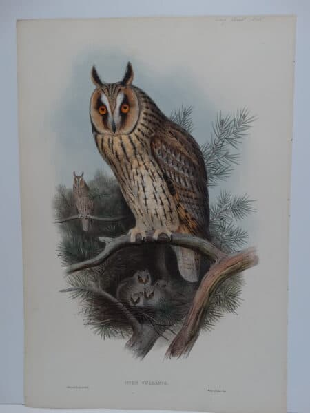 Spectacular depiction of lesser horned owl or the Northern long-ear owls with owlets.  170 year old John Gould watercolor lithograph sourced from his Birds of Great Britain.